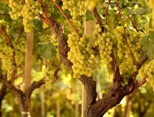 uva-da-tavola-mazzarrone-igp-sicilia-byunaproa[1][1]
